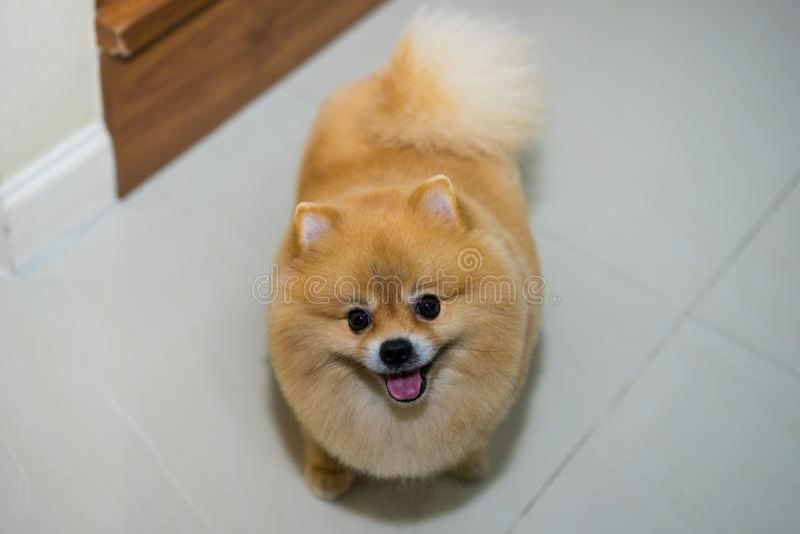 Pomeranian-Hundenette Haustiere schließen Frisur im Haus, selektives foc kurz stockbild