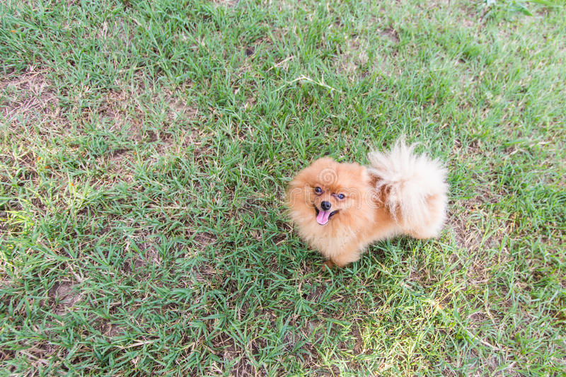 Pomeranian in lawn stock photo