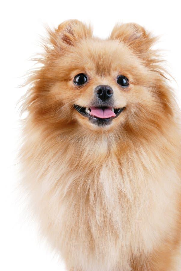 pomeranian le för hund royaltyfria bilder