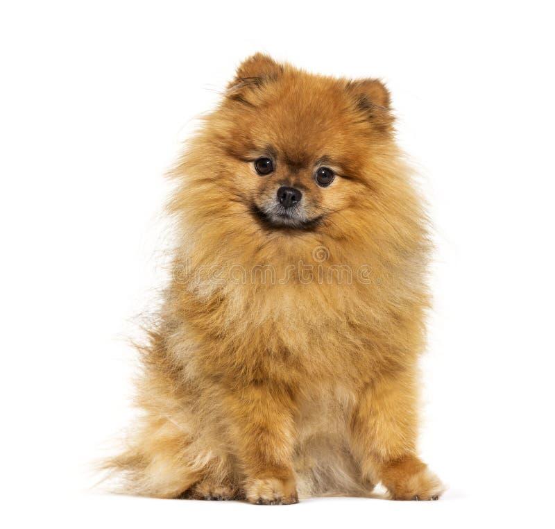 Pomeranian looking at the camera, isolated royalty free stock photo