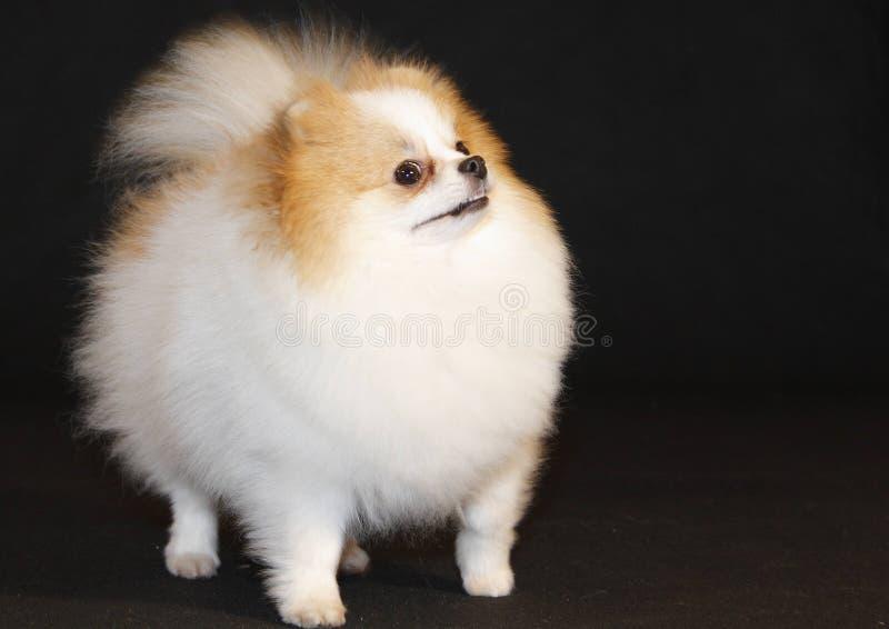 Pomeranian lulu imagens de stock