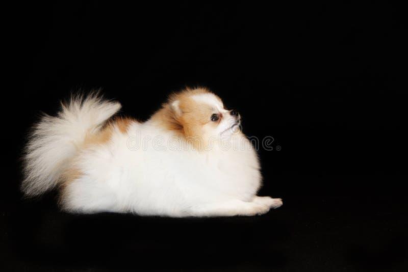 Pomeranian lulu foto de stock royalty free