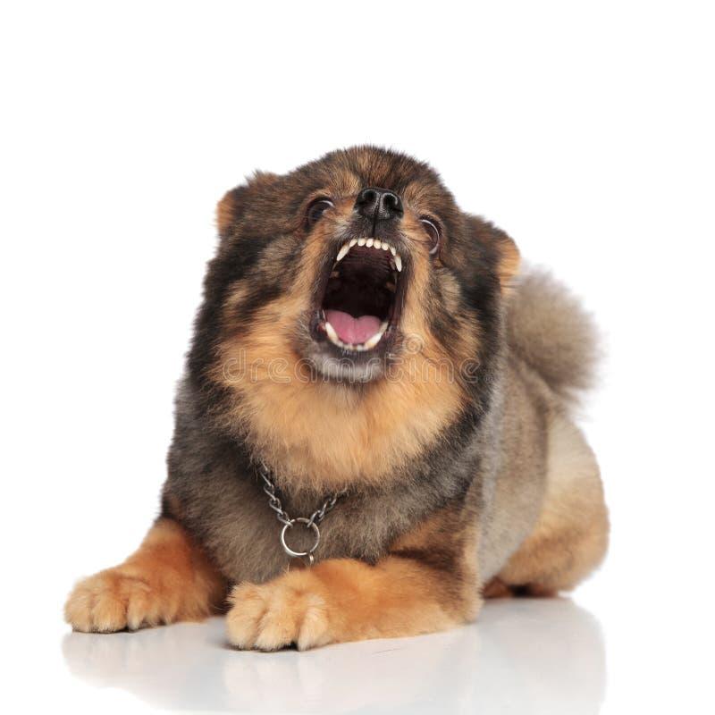 Pomeranian marrom engraçado com vista aberta da boca chocado foto de stock royalty free