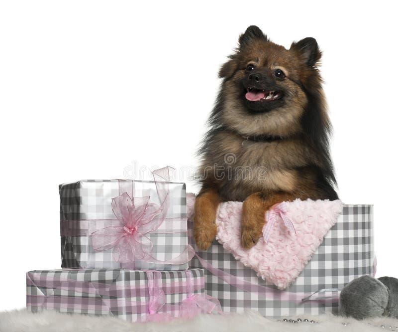 Pomeranian met de giften van Kerstmis royalty-vrije stock afbeeldingen