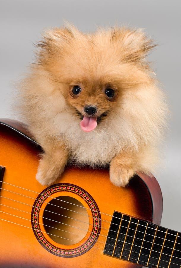 Pomeranian mit einer Gitarre stockfotografie