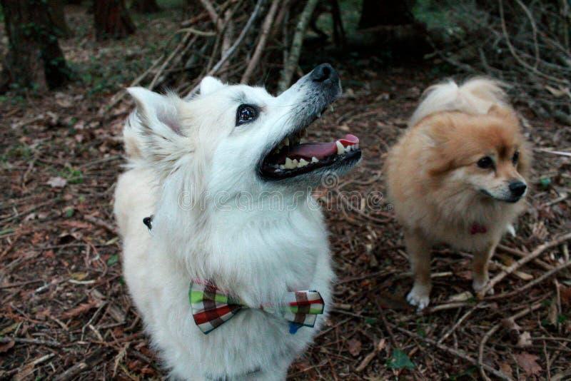 Pomeranian mit Fliege im Holz stockbilder