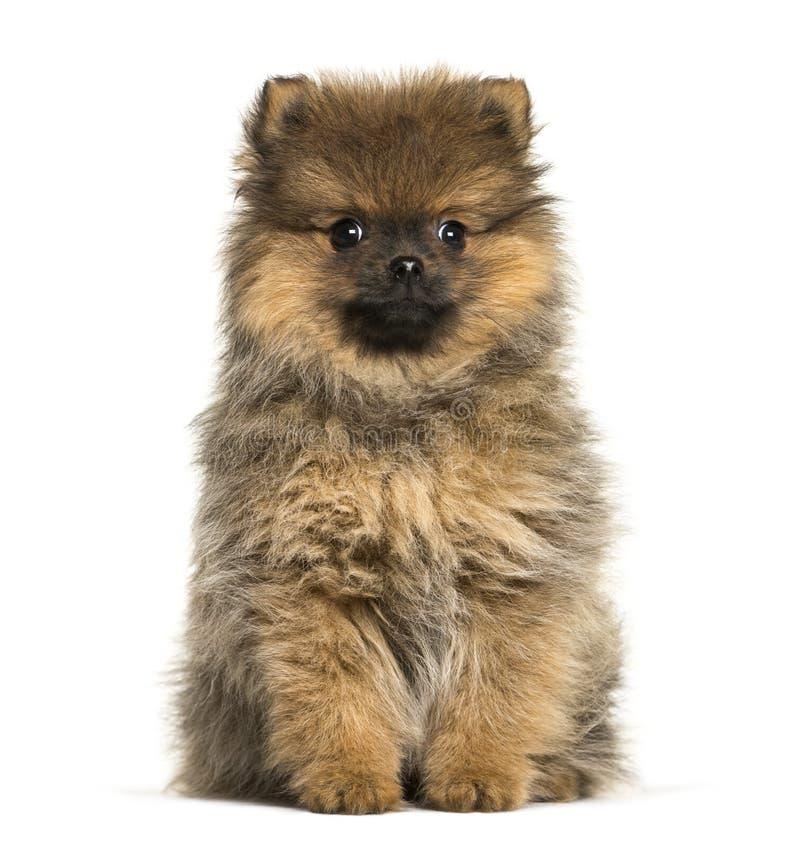 Pomeranian, 3 mois, se reposant devant le fond blanc images libres de droits