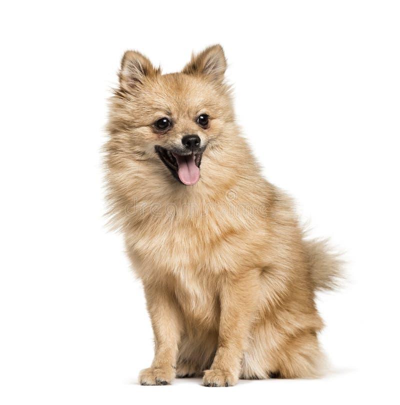 Pomeranian, 7months, se reposant sur le fond blanc photo stock