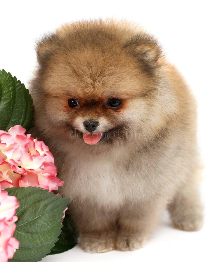Pomeranian på vit bakgrund, valp som isoleras royaltyfri fotografi