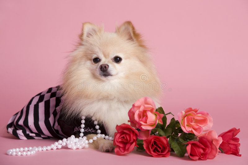 Pomeranian Pink. An adorable Pomeranian puppy dressed as a diva with pink roses and background stock image