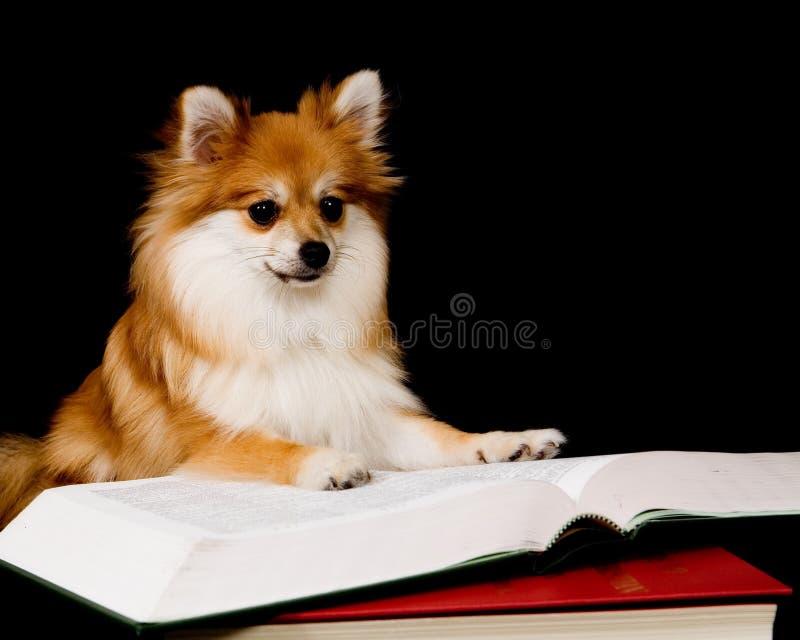 Pomeranian Prodigy immagini stock libere da diritti