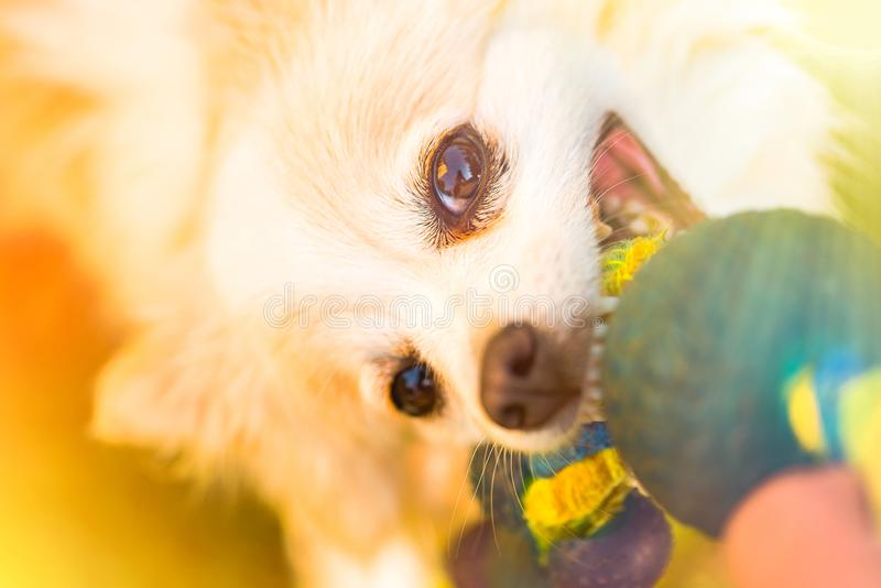 Pomeranian pulls Toy in Tug-of-War Game royalty free stock photos