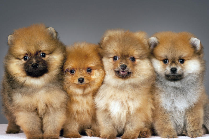 Pomeranian puppies. Four puppies of the purebred pomeranian-dog