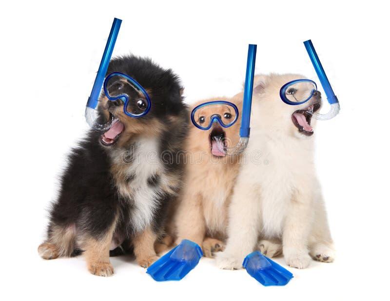 Pomeranian Puppies Wearing Snorkeling Gear royalty free stock photos
