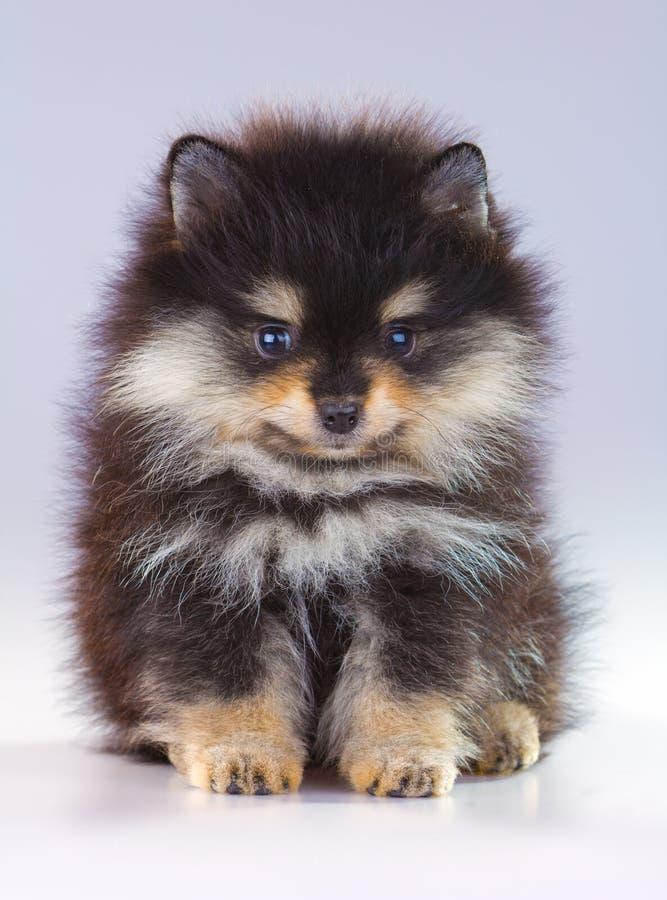 Pomeranian puppy. Little fluffy Pomeranian puppy on a gray background stock photos