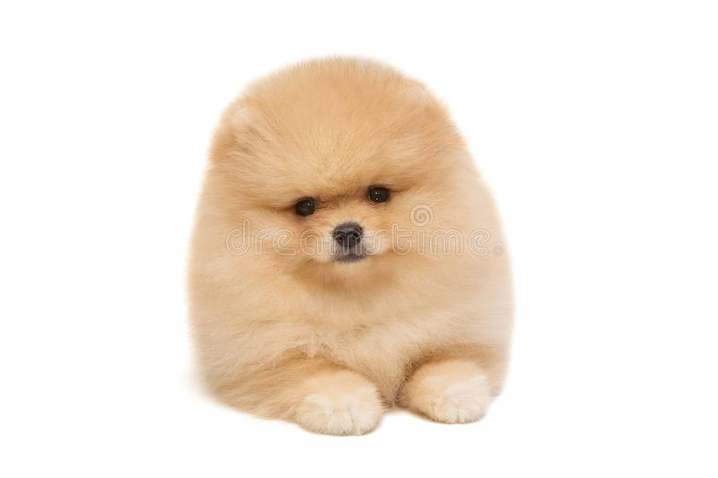 Pomeranian puppy beige color. Isolated on white background stock photos