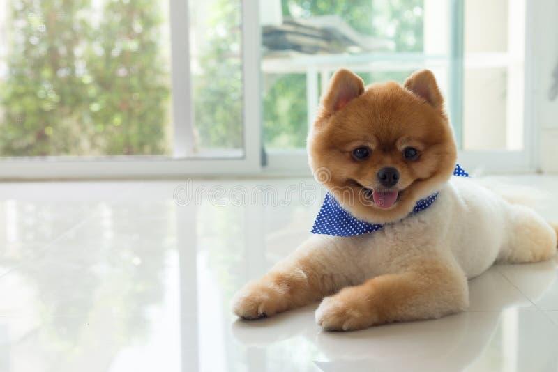 Pomeranian puppy dog cute pet royalty free stock photography