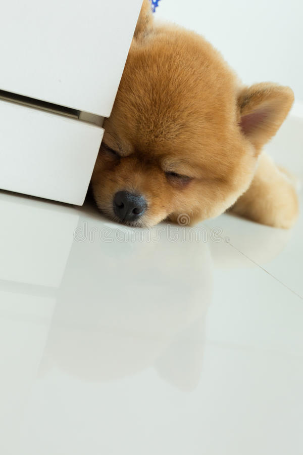 Most Inspiring Pomeranian Brown Adorable Dog - pomeranian-puppy-dog-cute-pet-sleeping-brown-grooming-short-hair-style-home-clean-white-tile-floor-98203594  Perfect Image Reference_421171  .jpg