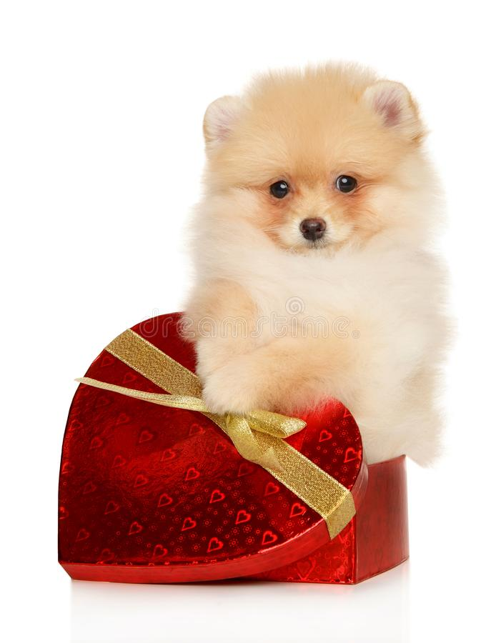 Free Pomeranian Puppy In A Box In The Form Of A Red Heart Stock Photo - 164331910