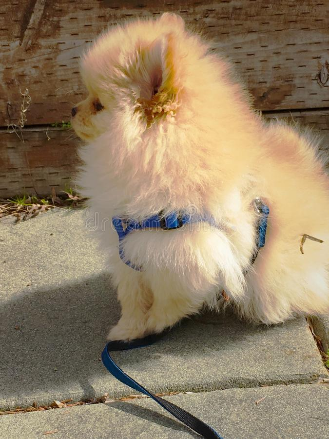 Side Profile of Pomeranian puppy royalty free stock photography