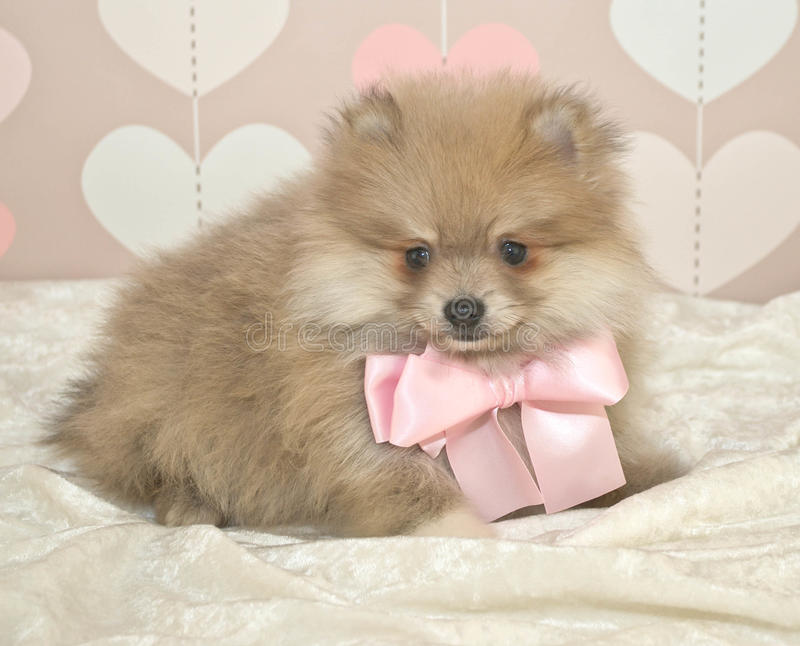 Cute Pom Puppy. Pomeranian puppy in a soft setting with hearts and wearing a light pink bow royalty free stock image