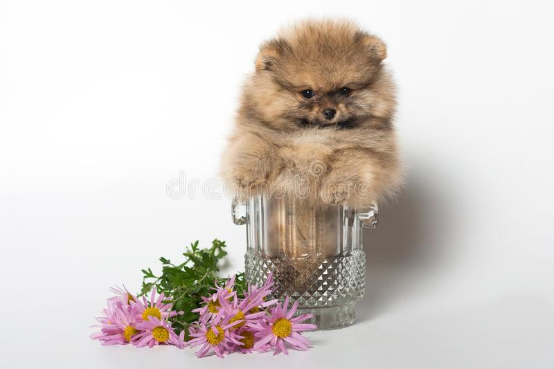 Pomeranian puppy in a vase stock photos