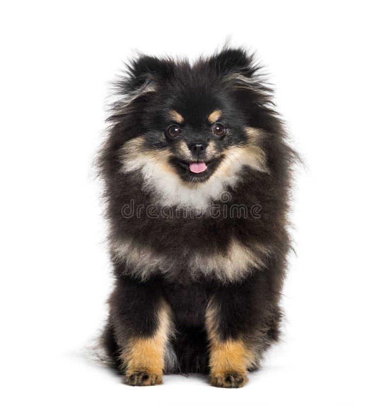 Pomeranian, 1 an, se reposant sur le fond blanc photo stock