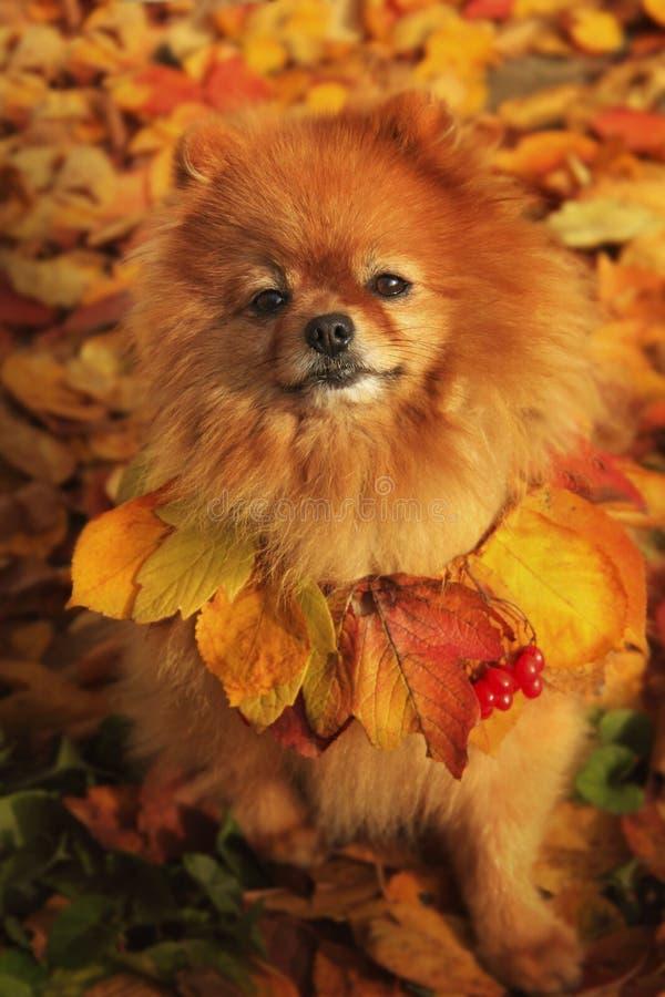 Pomeranian se repose en parc coloré d'automne images stock