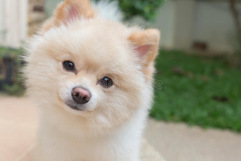 Pomeranian small dog cute pets friendly in home royalty free stock image
