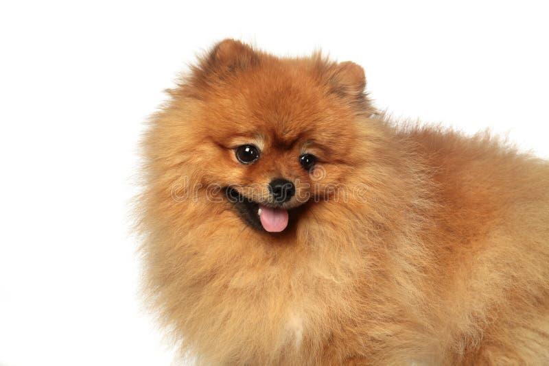 Pomeranian-Spitz 2 lizenzfreie stockfotos