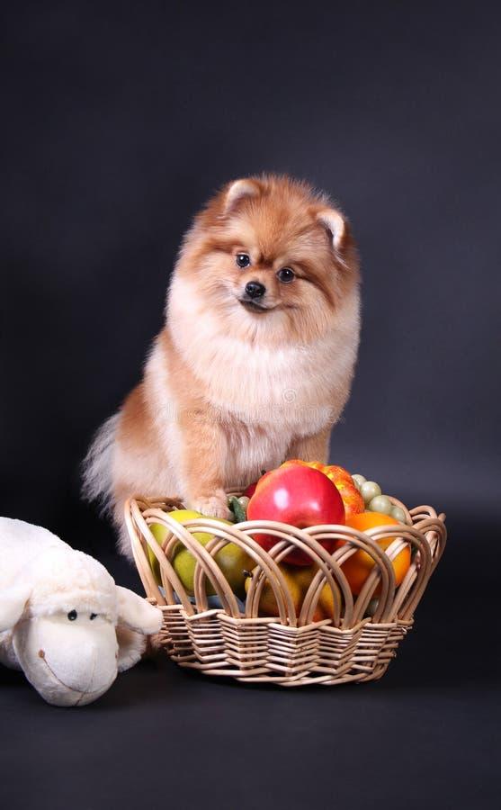 Pomeranian Spitz stockfotografie
