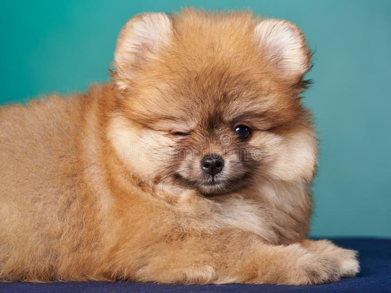 Pomeranian-Spitz auf dem blauen Hintergrund Winks am Auge lizenzfreie stockfotos