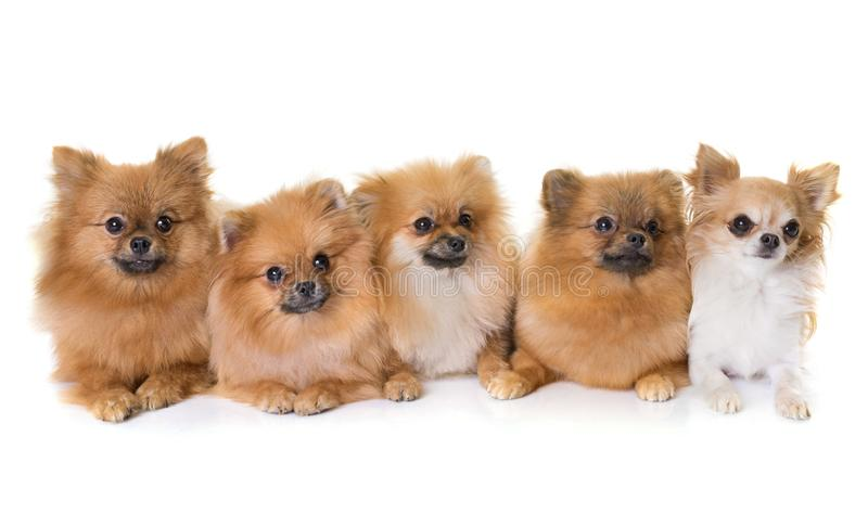 Pomeranian spitz and chihuahua stock image