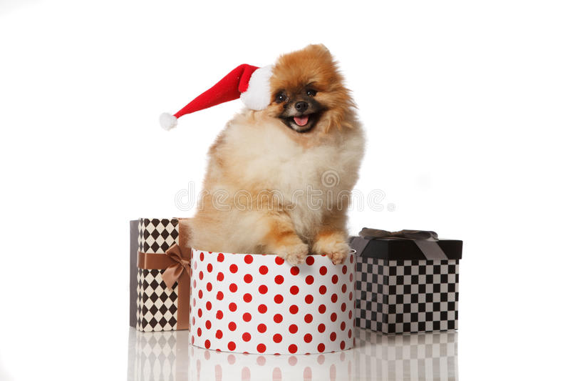 Pomeranian Spitz dog in Santa hat royalty free stock photo