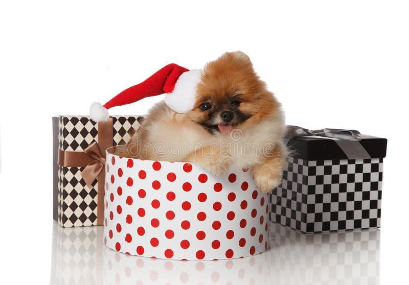 Pomeranian Spitz dog in Santa hat royalty free stock images