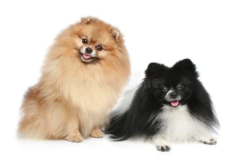 Pomeranian Spitz dogs. On a white background royalty free stock image