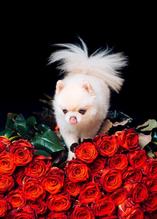 Pomeranian spitz. Fashionable doggy on roses. A gift for a glamorous girl. Cute white puppy. Pet. Dog. Glamor. Dwarf. Animal breed. Animal store. Romantic stock photography