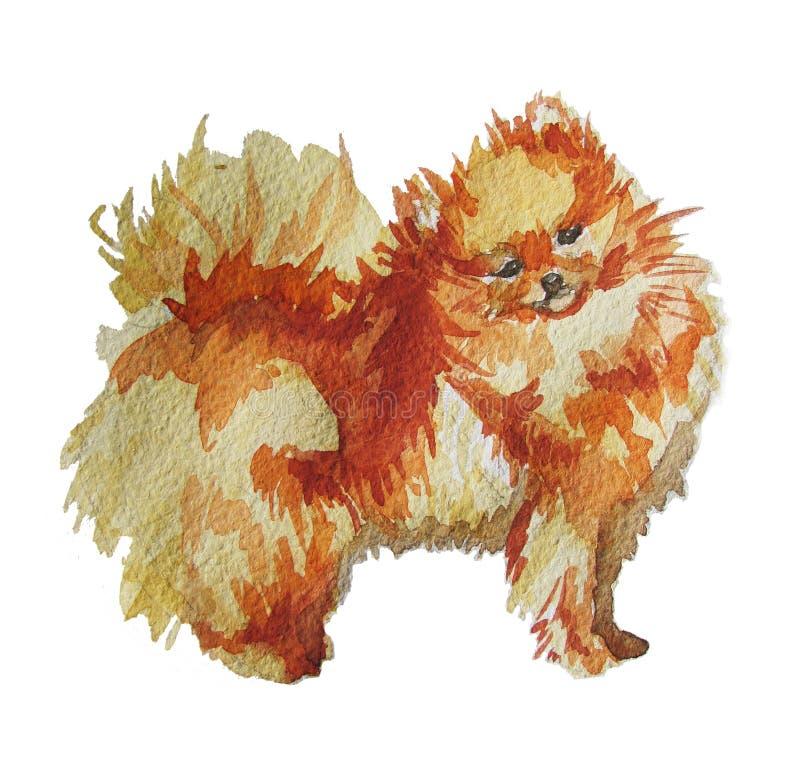 Pomeranian Spitz i vattenfärg royaltyfria foton