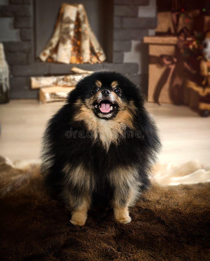 Pomeranian, Spitz nain, spitz miniature noir de chien image libre de droits