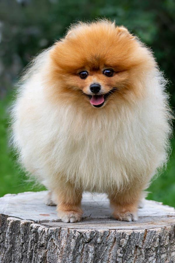 Pomeranian Spitz Netter flaumiger reizend rothaariger Pomeranian-Spitz im vollen Wachstum auf dem Gras im Park lizenzfreies stockfoto