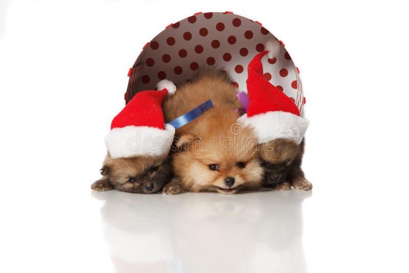 Pomeranian Spitz puppies in Santa hats stock image