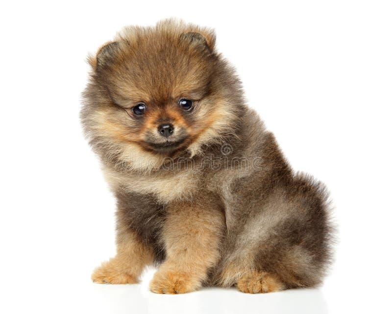 Pomeranian Spitz puppy. Baby animal theme. Cute Pomeranian Spitz puppy sits on white background. Baby animal theme stock photos