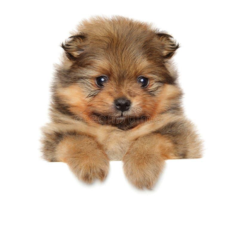 Pomeranian Spitz puppy. Baby animal theme. Pomeranian Spitz puppy on a white banner. Studio shooting. Baby animal theme royalty free stock images