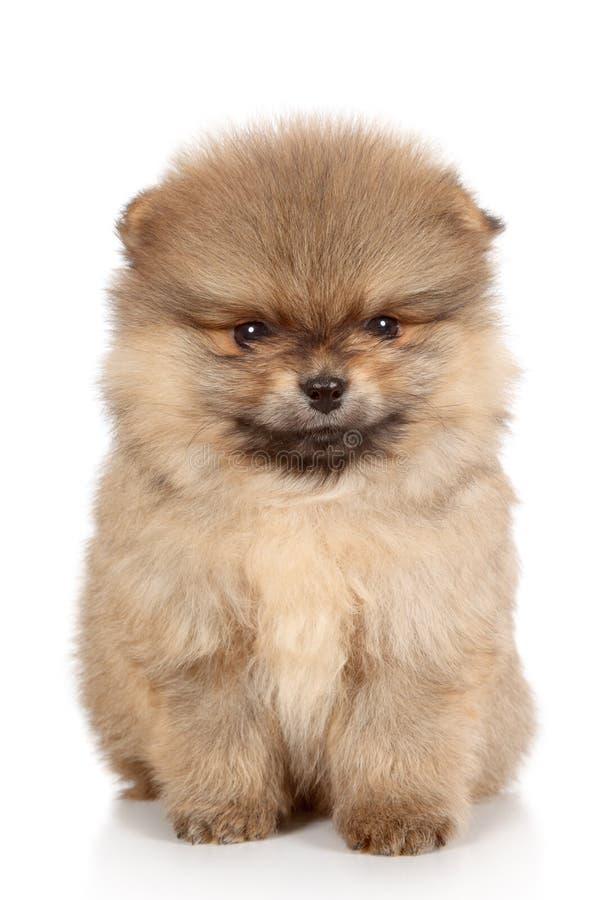 Pomeranian spitz puppy close-up portrait. Pomeranian spitz puppy on a white background stock images