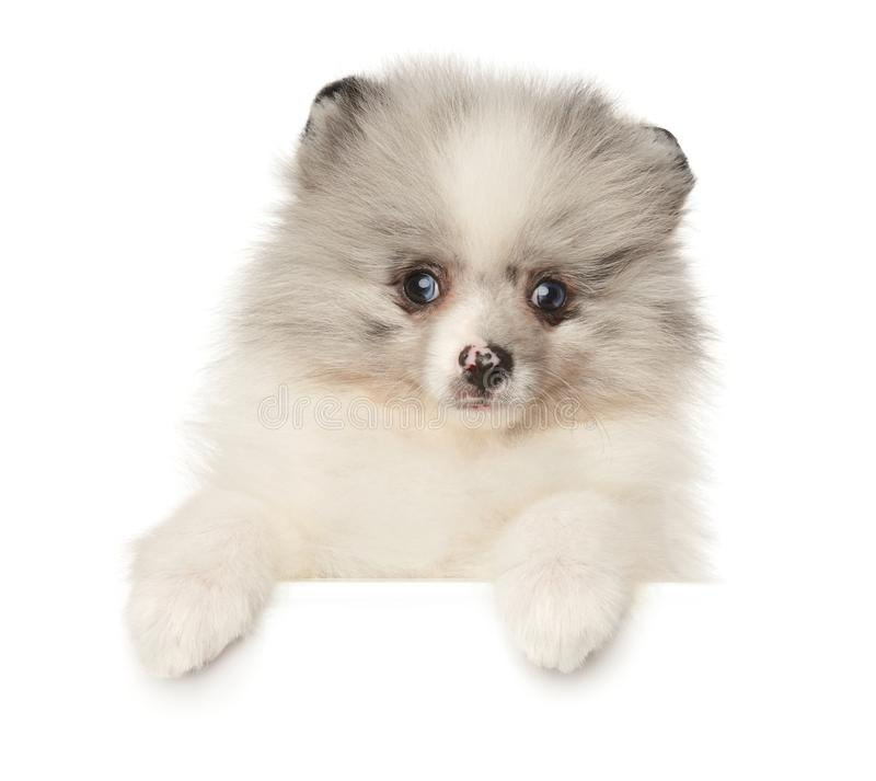 Pomeranian Spitz puppy marble color above white banner royalty free stock photo