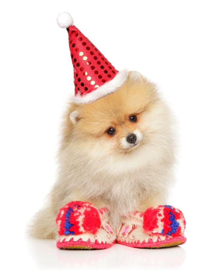 Pomeranian Spitz puppy in Santa hat. Pomeranian Spitz puppy in Santa Red hat sits on white background royalty free stock image