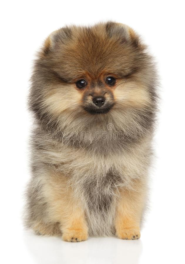 Pomeranian Spitz puppy sits on white background. Cute Pomeranian Spitz puppy sits on white background. Front view royalty free stock photos