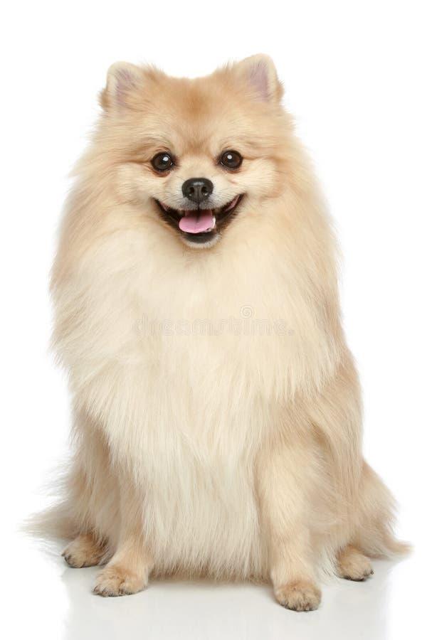 Pomeranian Spitz puppy on a white background. Pomeranian Spitz dog sitting on a white background royalty free stock photos