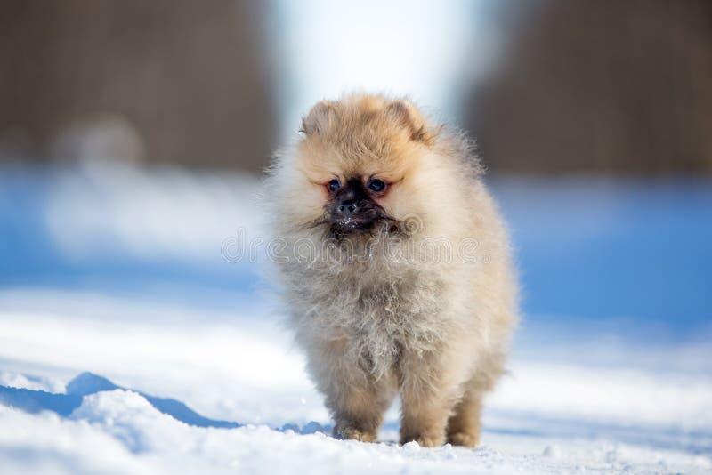 Download Spitz puppy stock photo. Image of pomeranian, animal - 30169432