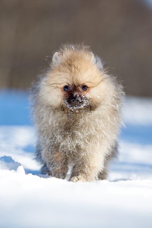 Download Spitz Puppy Stock Photo - Image: 30169450